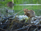Photo of a beaver on its dam